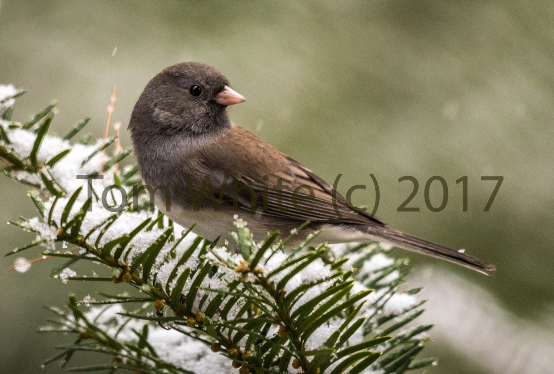 Picture of a Junco bird