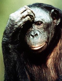 sci-bonobo-ape_3
